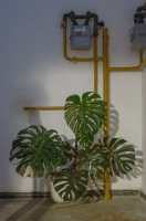 http://rafaeldubreu.com/files/gimgs/th-7_Philodendron II.jpg